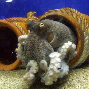 Ein Gewöhnlicher Oktopus (Octopus vulgaris) zeigt seine mit Saugnäpfen bewaffneten Arme. (Wikipedia / User: OpenCage / Attribution-Share Alike 2.5 Generic)