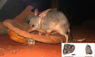 Ein heute lebender Kaninchennasenbeutler der Art Macrotis lagotis mit Nachwuchs. Das kleine Bild zeigt einen versteinerten Zahn der neuen Art Liyamayi dayi. (Großes Bild: Wikipedia / User: Dcoetzee / Public Domain; kleines Bild: Photo by Kenny Travouillon)