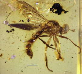 Männliches Exemplar der neuen Raubfliegenspezies Burmapogon bruckschi in einem Stück Bernstein. (Courtesy of David Grimaldi)