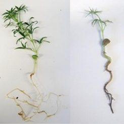 Rhizoctonia solani auf einer Lupine. (University of Western Australia)