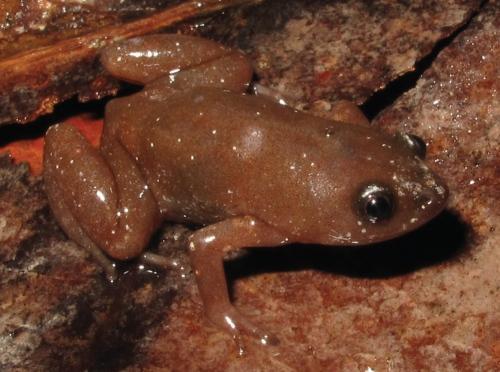 Die neu entdeckte Froschart Chiasmocleis quilombola lebt im atlantischen Regenwald im Südosten Brasiliens. (Tonini et al.)
