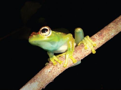 Ein Exemplar der neuen Spezies Boophis ankarafensis. (Zookeys / CC BY 4.0)