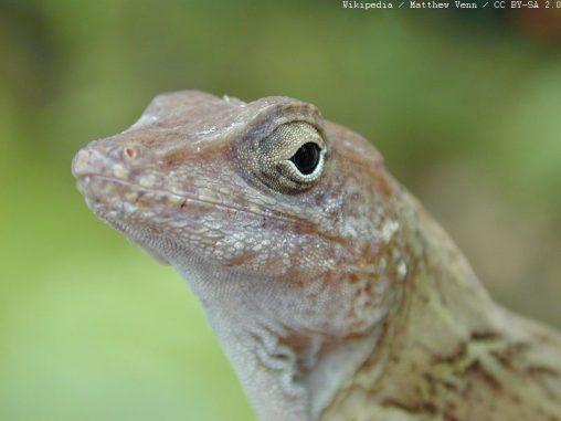 Kopf eines Exemplars der Dickkopfanolis (lat. Anolis cybotes). (Wikipedia / Matthew Venn / CC BY-SA 2.0)