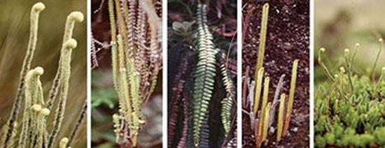 Beispiele für die morphologische und ökologische Vielfalt der Páramo-Farngattung Jamesonia. (Dr. Patricia Sanchez-Baracaldo / University of Bristol)