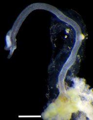 Ein männliches Exemplar der neu entdeckten Spezies Osedax priapus auf dem Knochen einer Robbe. (Greg Rouse)