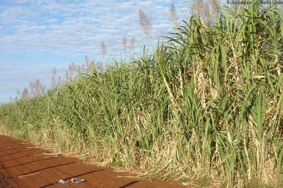Eine Zuckerrohrplantage in Brasilien. Aus dem Rohrzucker wird Bioethanol gewonnen. (Wikipedia / User Mariordo / CC BY-SA 3.0)