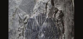 Der versteinerte Schädel des urzeitlichen Fisches Janusiscus. (Oxford University)