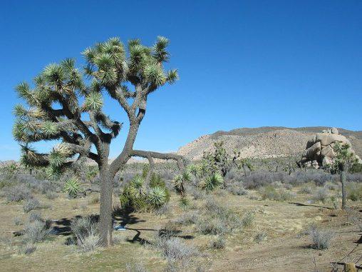 Eine Josua-Palmlilie im Joshua Tree National Park in der Mojave-Wüste. (Wikipedia / gemeinfrei)