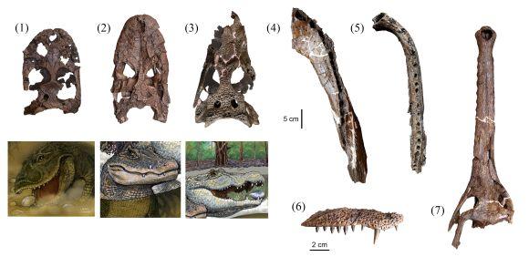 Schädel- und Kieferknochen der sieben Krokodilarten, die nebeneinander vor 13 Millionen Jahren in der Pebas Formation lebten. (1) Gnatusuchus pebasensis, (2) Kuttanacaiman iquitosensis, (3) Caiman wannlangstoni, (4) Purussaurus neivensis, (5) Mourasuchus atopus, (6) Pebas Paleosuchus, and (7) Pebas gavialoid. Die Illustrationen von Javier Herbozo zeigen die drei neuen Arten (1-3). (Copyright Rodolfo Salas-Gismondi / AMNH)