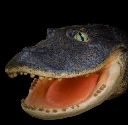 Rekonstruktion des Kopfes von Gnatusuchus pebasensis, einem 13 Millionen Jahre alten Krokodil mit kugelförmigen Zähnen. Model by Kevin Montalbán-Rivera. (Copyright Aldo Benites-Palomino / AMNH)