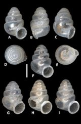 Erscheinungsbild der neuen Hornschneckenart Zospeum vasconicum: A-E: Verschiedene Ansichten des Holotyps (MNCN 15.05/60147H), F-I: Paratypen-Schalen (MNCN 15.05/60147P), H: Paratypen-Schale mit einem hineingebohrten Loch, wodurch die zentrale Spindel des Schneckenhauses sichtbar ist. Der weiße Strich entspricht einer Länge von 0,5 Millimetern. (Zookeys / CC BY 4.0)