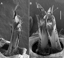 Zwei Nahaufnahmen der männlichen Genitalien von Tasmaniosoma anubis. Der Vergleichsmaßstab rechts ist 0,1 Millimeter lang. (ZooKeys / CC BY 4.0)