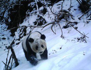 Eine Kamerafalle hat einen im Schnee laufenden Panda im Wolong-Naturreservat in Suchuan (China) fotografiert. (Michigan State University Center for Systems Integration)