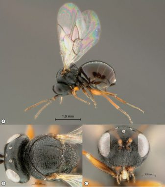 Detailansichten der Wespenart Rhoophilus loewi aus Südafrika. (van Noort et al. / ZooKeys / CC BY 4.0)