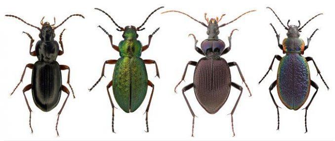 Käferpopulationen in der Arktis könnten Wissenschaftlern Hinweise auf den Verlauf des Klimawandels geben. (Image: Henri Goulet)