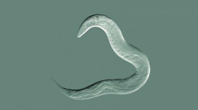 Ein Fadenwurm der Art Caenorhabditis elegans. (Science@NASA)