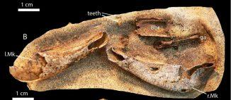 Das Exemplar von Gogoselachus lynbeazleyae WAM 09.6.145 aus der Gogo-Formation in Western Australia während der frühen Präparationsphase. (Long et al. / PloS ONE)