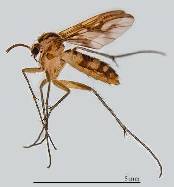 Ein ausgewachsenes Weibchen der Pilzmückenart Neoempheria puncticoxa. (Pensoft / Oliveira S. et al. / CC BY 4.0)