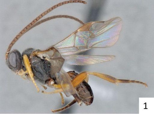 Ein Exemplar der Wespenart Microplitis adrianguadamuzi. (Pensoft / Fernandez-Triana & Whitfield / CC BY 4.0)