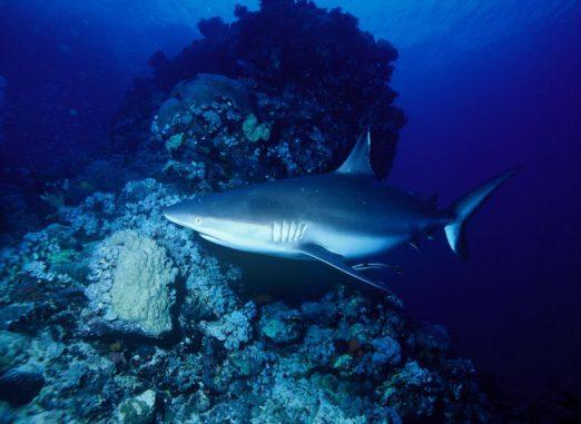 Haie, hier ein Grauer Riffhai, zählen zu den komplexen Lebensformen, die sich infolge eines Anstiegs des Sauerstoffgehalts in den Weltmeeren entwickelten. (Wikipedia, gemeinfrei)