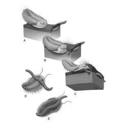 Ein Trilobit erkennt den Grabgang eines Wurms durch Sicht und möglicherweise durch den Geruch, dann gräbt er nach unten und greift seine Beute mit seinen vielen Beinen. (Stacy Turpin Cheavens of the Department of Orthopaedic Surgery, University of Missouri)