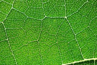 Die Photosynthese läuft in den Chloroplasten von Pflanzenzellen ab. Das eingelagerte Chlorophyll verleiht ihnen die grüne Farbe. (NASA)