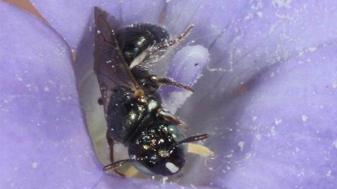 Ein Exemplar der australischen Bienenart Ceratina australensis. (Marc Newman / PaDIL / CC-BY-3.0 AU)