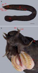 Ein Schleimaal zeigt seine Zähne (unten). Die Beschriftungen kennzeichnen die Positionen des Mundes, seiner Zähne und der Schleimporen (oben) (Massey University)