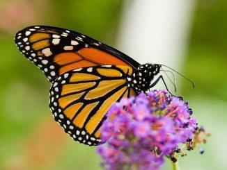 Der Monarchfalter Danaus plexippus. (Wikipedia / User: Richiebits / gemeinfrei)