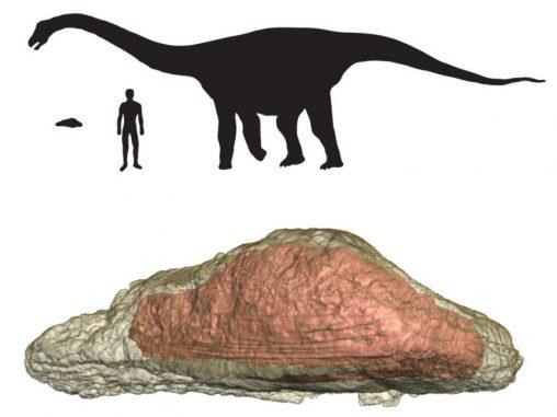 Größenvergleich zwischen dem Osteoderm des Rapetosaurus, dem Dinosaurier selbst und einem Menschen (Macalester College)