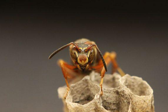 Papierwespe, Insekt, Gesichtserkennungssystem, Facettenauge, Verhalten