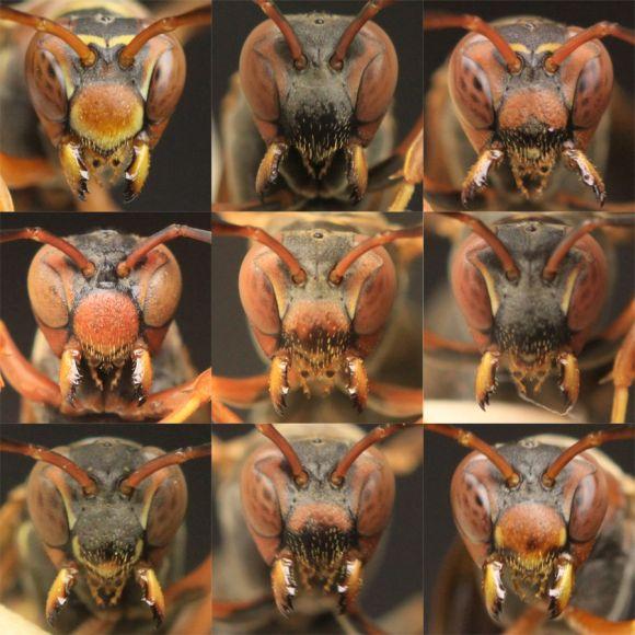 Einige der sehr variablen Gesichtsmerkmale von weiblichen Papierwespen (Michael Sheehan)