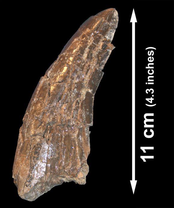 Dieser Zahn eines Tyrannosaurus wurde zusammen mit Knochen eines Alamosaurus gefunden, was beweist, dass beide Spezies in demselben Ökosystem koexistiert haben (Image Courtesy of Denver Fowler)