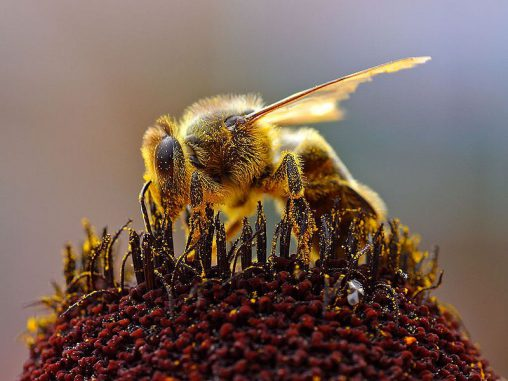 Eine Honigbiene sammelt Pollen. (Wikipedia / User: Jon Sullivan / gemeinfrei)