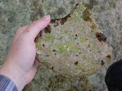 Dolomit wurde in riffbauenden Algen entdeckt (Dr. B. Opdyke)
