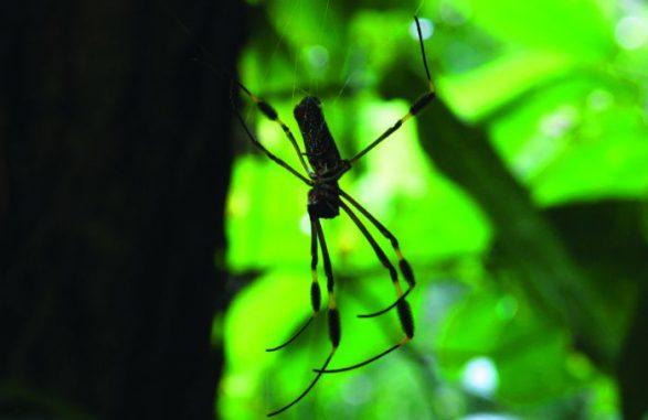 Nephila clevipes (Photo: Pamela Belding)