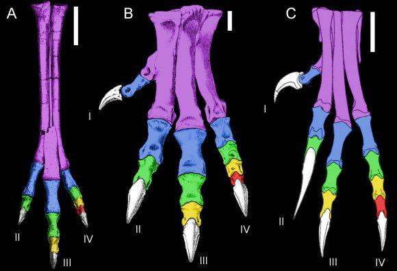 Die Füße von Gallimimus (links) und Allosaurus (Mitte) sind auf das Laufen ausgelegt. Der Fuß von Deinonychus (rechts) dagegen sieht völlig anders aus und ist für das Greifen optimiert (Image by Denver Fowler)
