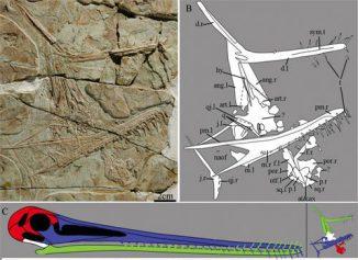 Pterofiltrus qiui: Fotografie (A), Zeichnung aller gefundenen Skelettelemente (B) und eine Illustration des Schädels mit den vorhandenen Komponenten (C) (Image by JIANG Shunxing)