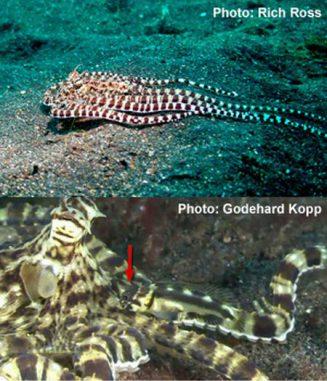 Der Mimic Octopus und der kaum erkennbare Harlekin-Kieferfisch (Rich Ross / Godehard Kopp)