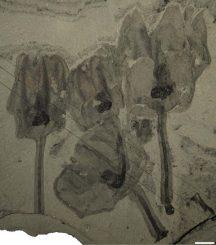 Vier fossile Exemplare von Siphusauctum gregarium (Royal Ontario Museum)
