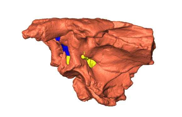 3D-Modell des Fossils. Die blau gefärbte Region stellt das Gehirn dar, die gelbe Region repräsentiert Hauptnervenstränge (University of Missouri)