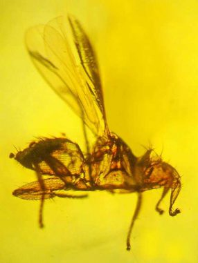 In Bernstein gefangene Fledermausfliege (Photo by George Poinar, Jr., courtesy of Oregon State University)