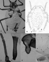 Rhopalosiphum chusqueae: A) und B) Habitus; C) Antennensegment III; D) Siphunculus; E) Cauda; F) und B-a) Details des 3. Abdominalsegments; G) und B-b) Details des 8. Abdominalsegments (Nicolás Pérez Hidalgo / Zookeys)