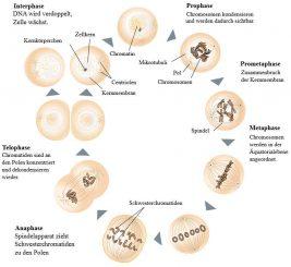 Schematischer Ablauf der Mitose (Wikipedia / User: Jpablo cad und Matthias_M. / CC BY-SA 3.0)