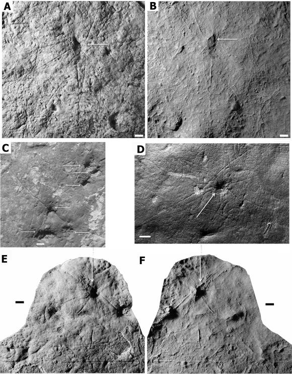 Die oben abgebildeten Exemplare stammen aus unterschiedlichen Fundstätten. Die weißen Pfeile deuten auf die Hauptkörper der Organismen. A, C, D und E sind Fotografien der fossilen Eindrücke im Gestein, B und F sind Latex-Abdrücke, die das vermutete Erscheinungsbild der lebenden Organismen widerspiegeln. (Droser lab, UC Riverside)