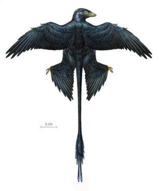 Rekonstruktion eines Microraptor, basierend auf dem neuen Exemplar und acht zuvor beschriebenen Exemplaren (Mick Ellison / AMNH)