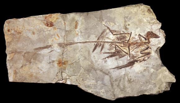 Fossil eines Microraptor (U. of Texas in Austin)