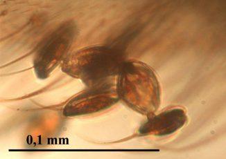 Gymnospermae-Pollen in Bernstein. (Enrique Peñalver, IGME)