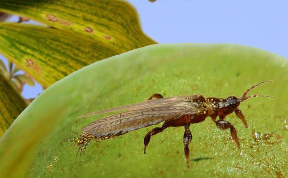 Rekonstruktion von Gymnospollisthrips mit Pollen am Körper über einem Gingkobaum. (Enrique Peñalver, IGME)