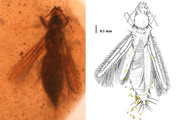 Gymnospollisthrips major mit Blütenstaub am Körper. (Enrique Peñalver, IGME)